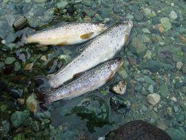 rainbow trout + uttaranchal